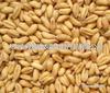 黑龙江大兴安岭小麦