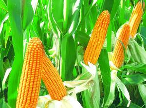 农家玉米量大优惠