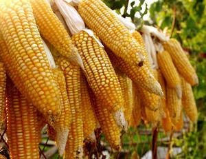 批发大量玉米