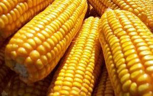 农家玉米    大量