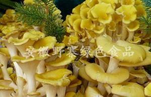 野寨有机食用菌  黄金菇 干货批发