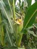 精播高产玉米种子——甘玉358