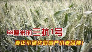 高产优质小麦种子——三抗1号