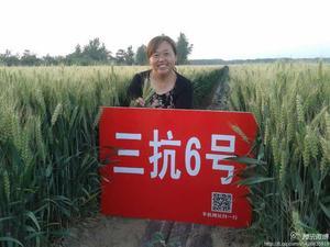 河南高产抗性强小麦种子——三抗6号
