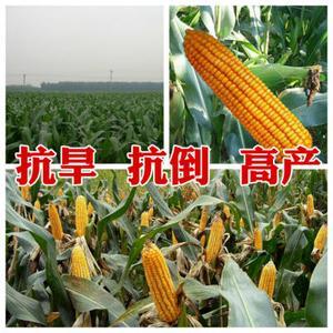 朝晖种业玉米种子新品种郑单518热卖产品