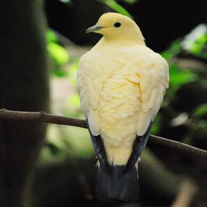 供应三分地散养营养肉鸽