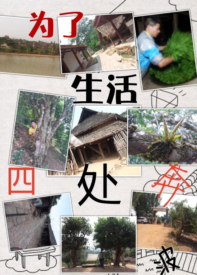 白龙须贡 云南普洱茶饼茶生茶 10年图片五