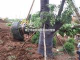 批发优质园林绿化 保暖 防寒 包树布 出厂价
