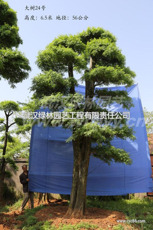材质坚实,刚性强,韧度大,变形小,其品质系数高达2500,且半风干树材或图片